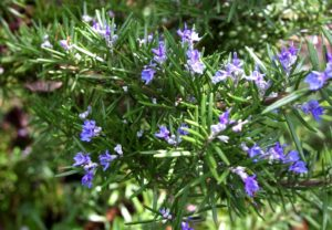 To strengthen the memory of medicinal plants