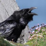 The breath of a crow, or little tricks of Tantra