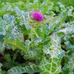 Milk Thistle is spotted. Author: Arina Rod
